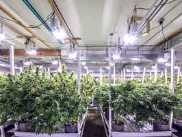 high-tech-automated-marijuana-grow-operation-denver-colorado