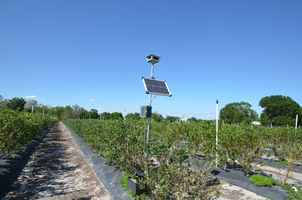 blueberry-farm-arcadia-florida