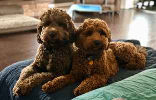 Australian Labradoodle Dog Breeding Business